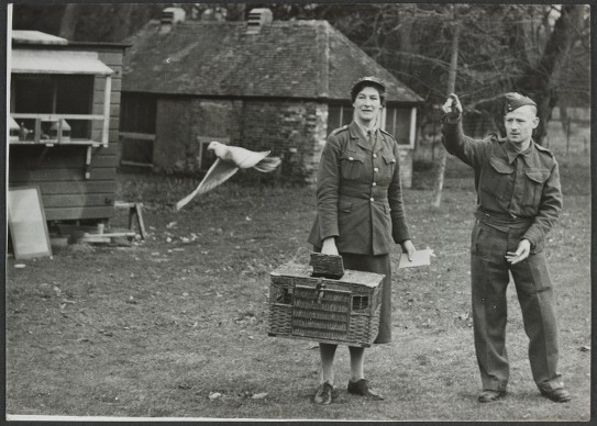 A.T.S. woman being shown how to release a pigeon
