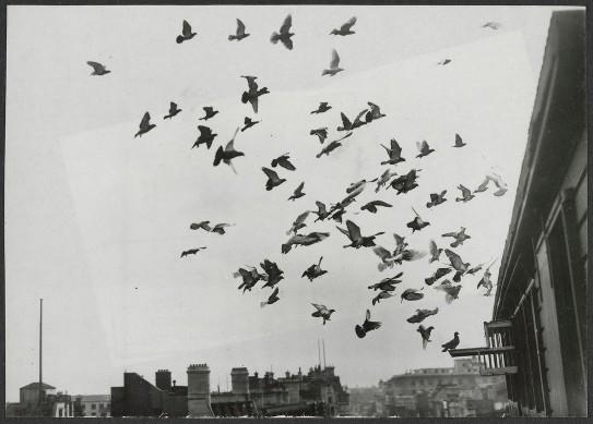 Birds arriving back in lofts after training flight
