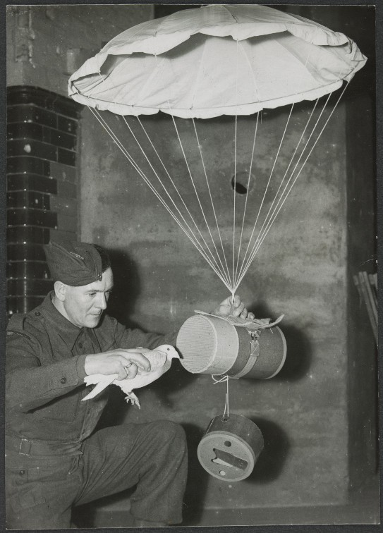 Loading pigeon into special container for dropping over occupied territory