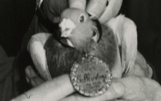 'Tommy' the pigeon being awarded the Dicken medal for distinguished war service