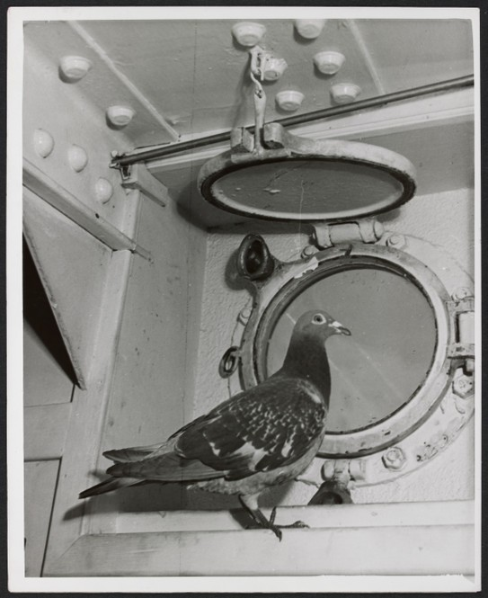 Weary pigeon resting on board the H.M.C.S. Mayflower, the ship sent its message on in code